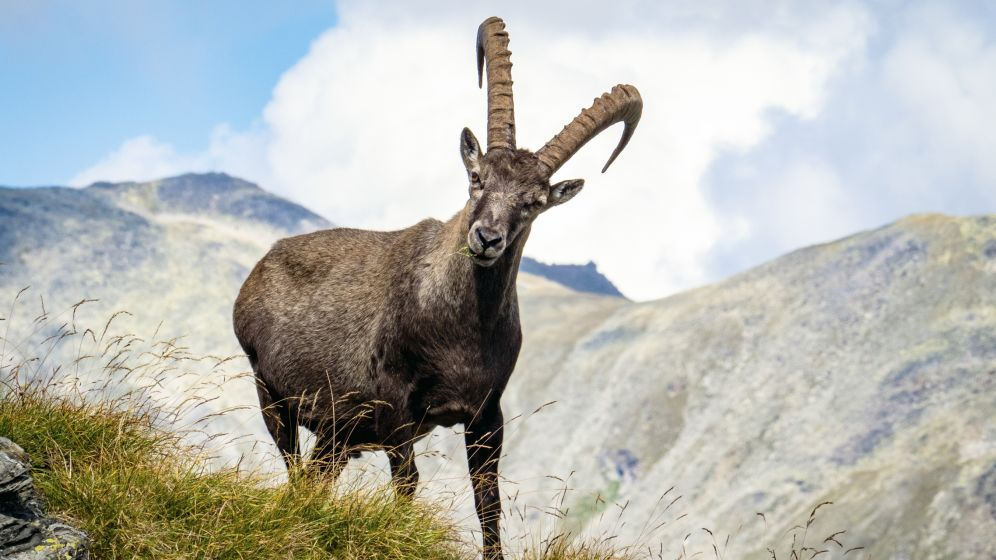 Valais, summer, mountain, meadow, ibex